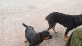 Умные собаки дворняжки !!