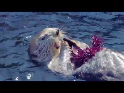 Sea Otters Vs. Urchins