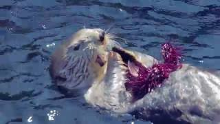 Sea Otters Vs. Urchins