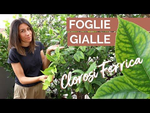 FOGLIE GIALLE |
