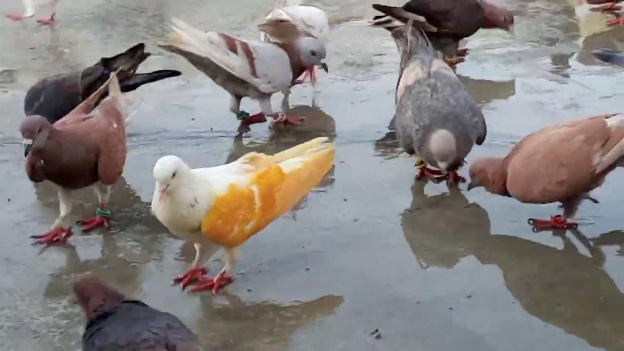 Aj Naya Kabootar Ki Khulat ki or Set kia In Urdu/hindi - Gola Pigeons Karachi