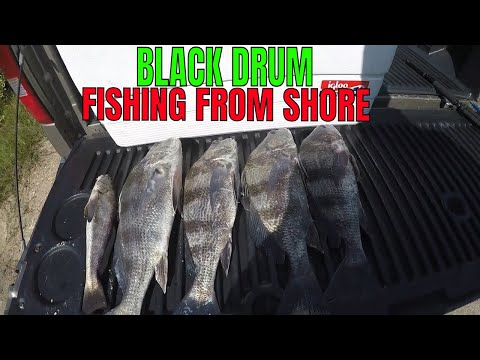 SHORE FISHING FOR BLACK DRUM