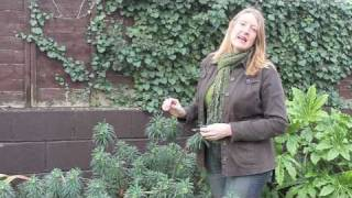 Gardening Tips: Introducing Euphorbia