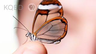 Glasswing Butterflies Want To Make Something Perfectly Clear | Deep Look