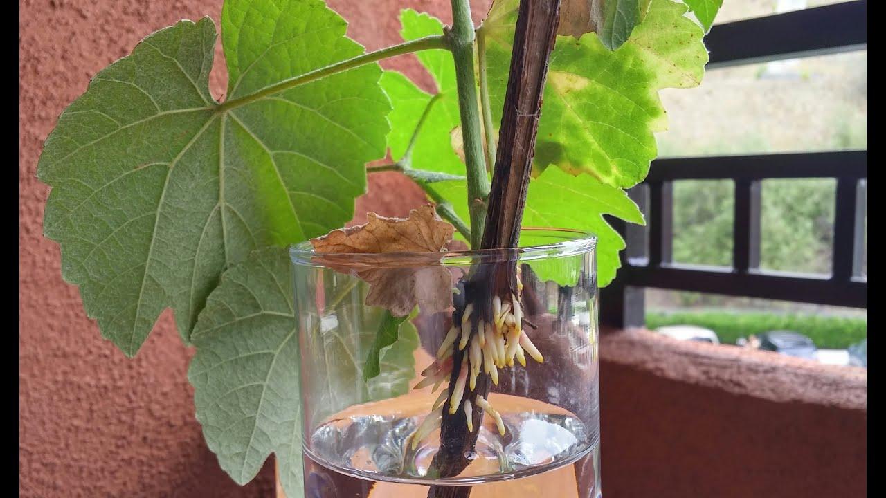 Growing California Wild Grape Cuttings Days 0 39 Youtube