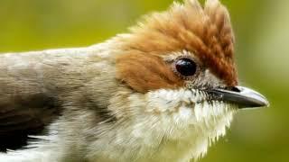 Suara burung Perenjak Batu/Yuhina Kalimantan Gacor untuk Masteran