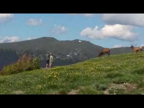Small Wapiti herd grazing next to people