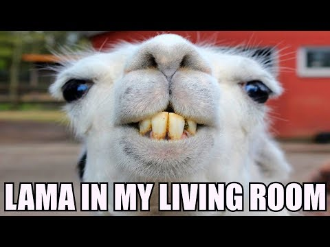 LAMA IN MY LIVING ROOM! [REMIX] 😝