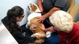 """bruce"" O'connor The English Bulldog Gets K-laser Treatments For Hip Dysplasia  Www.amazonanimal.com"