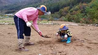 평창 홍잠언 1년전(당시 6세)...밭에서 열심히 일하는 동영상입니다