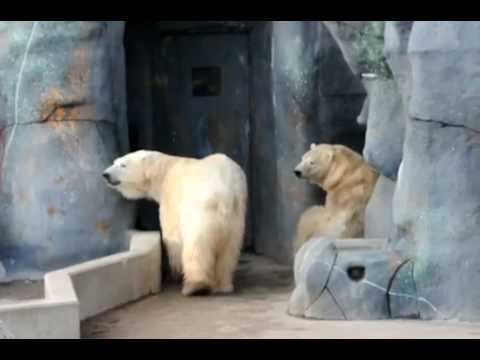 Polar bear zoochosis at Toronto Zoo