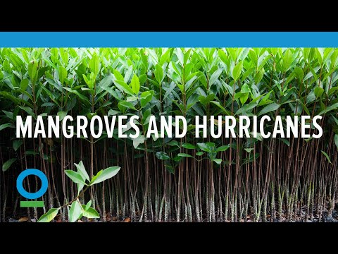 Mangroves and Hurricanes