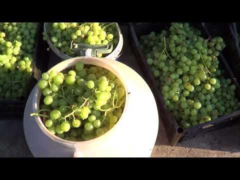 Как собрать с одного куста более 300 килограмм винограда. Урожай винограда «Галбена Ноу»