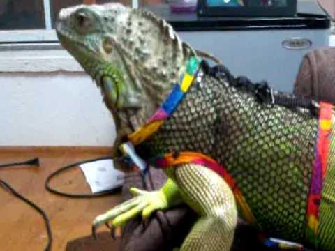 Iguana with a harness - YouTube