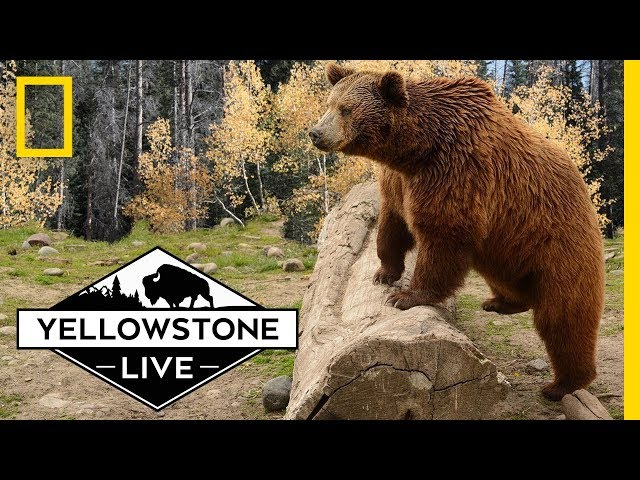 Grizzly Bears in Yellowstone, LIVE!   Yellowstone Live