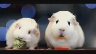A Guinea Pig Contemplates Existence