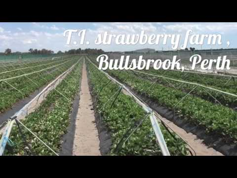 Perth Strawberry Picking 2015