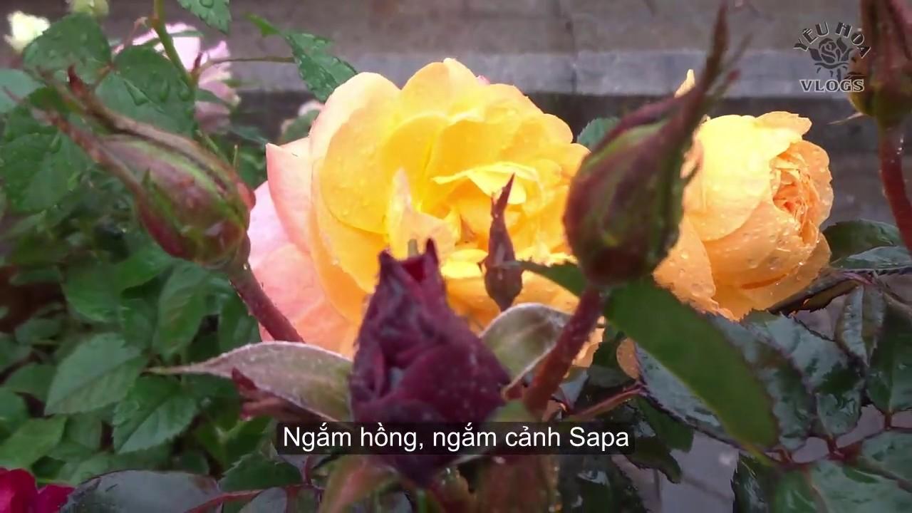Hoa hồng đẹp ở Sapa | Lên Sapa gặp thung lũng hoa hồng | Phần 2