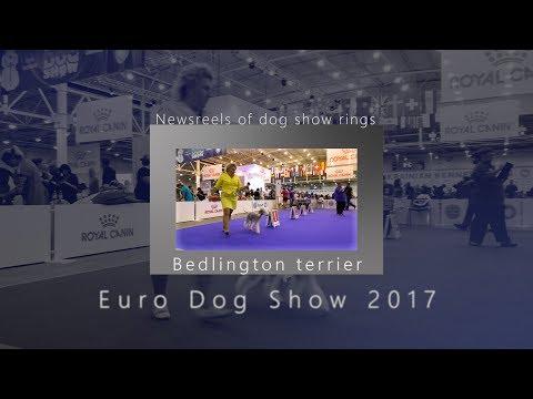 EDS - 2017.  Bedlington terrier. Champion class. Male
