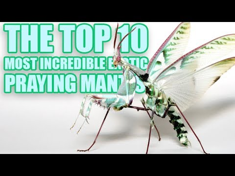 10 Most Incredible Exotic Praying Mantis You Can Have As A Pet
