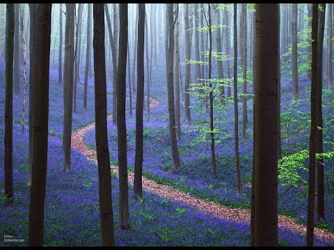 ЧАРУЮЩИЙ Халлербос синий лес в Бельгии.