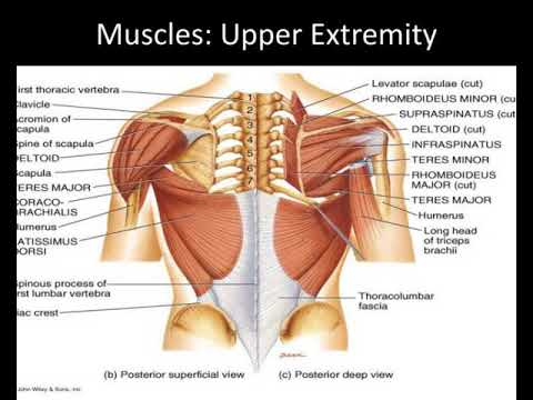 unit 3 the muscular system lab 2 muscles of the appendicular ...