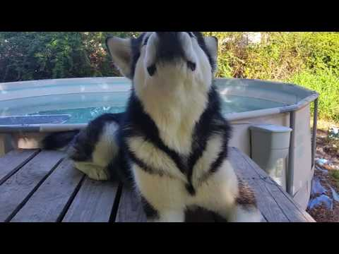 ALASKAN MALAMUTE LEARNS HOW TO COUNT