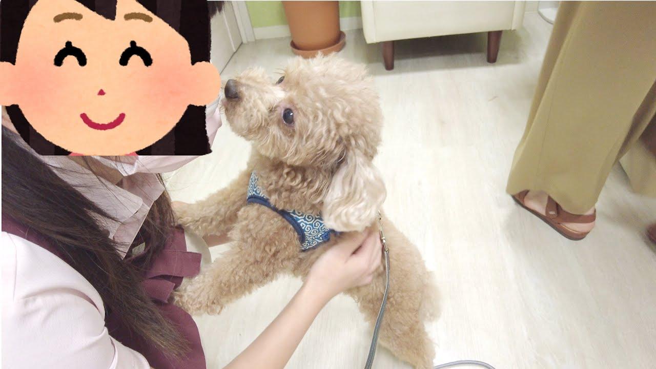 大好きなトリマーさんと久しぶりの再会でまた恋しちゃった犬がこちらですw