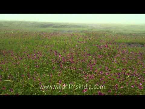 Carpets of magenta hued Impatiens in Kaas valley of flowers