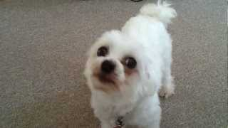Maltese Terrier Howling Dog Wolf Cat Hd Very Funny