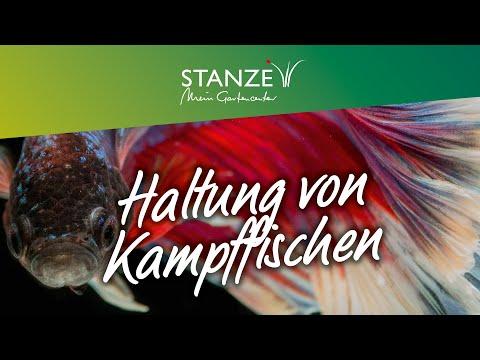 Kampffische – Infos Und Tipps Zur Haltung