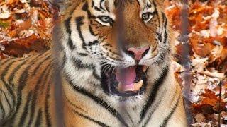 旭山動物園のアムールトラ「キリル」。他のアムールトラの鳴き声はあま...