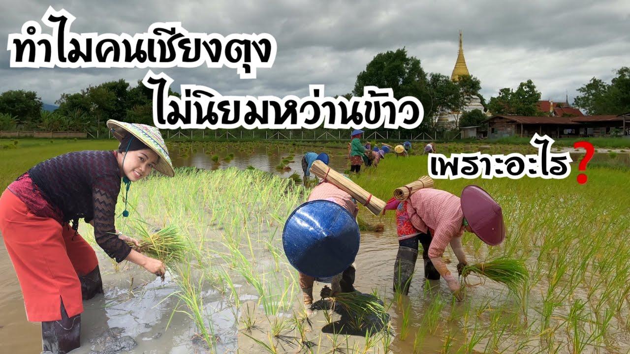 EP.155/ ทำไมคนเชียงตุงไม่นิยมหว่านข้าวเพราะอะไร? ค่าแรงดำนารายวันคิดเป็นเงินไทยกี่บาท?