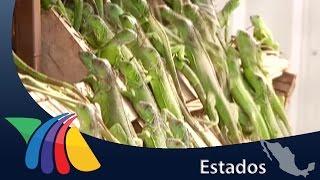 Baixar Crianza de iguanas genera 23 mil ejemplares al año en Chiapas   Noticias de Chiapas
