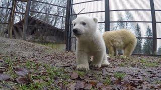 Naissance exceptionnelle d'un ourson polaire au zoo de Mulhouse - Météo à la carte