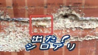 http://aodatami.com でました。 シロアリ・・。 畳替えの時によく発見されるこいつら・・。 でも畳替えをしてなかったら発見できてなかった白蟻。...
