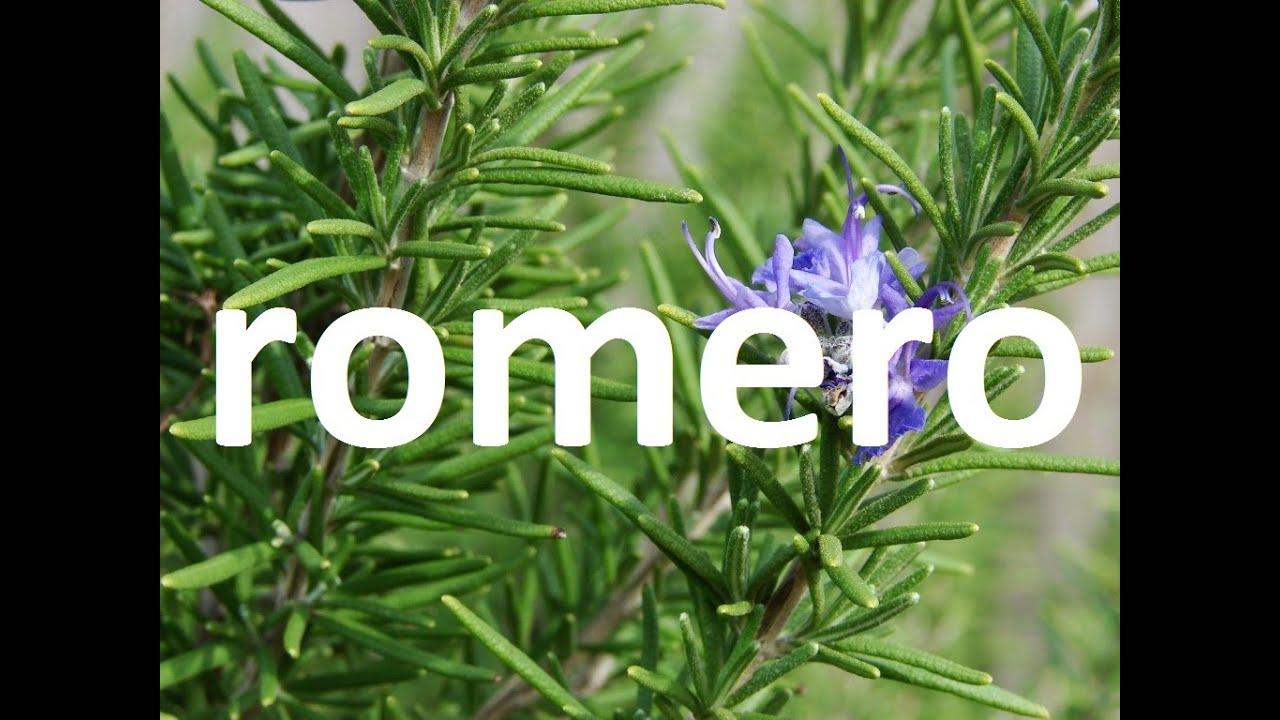 Plantas medicinales el romero youtube for Hojas ornamentales con sus nombres
