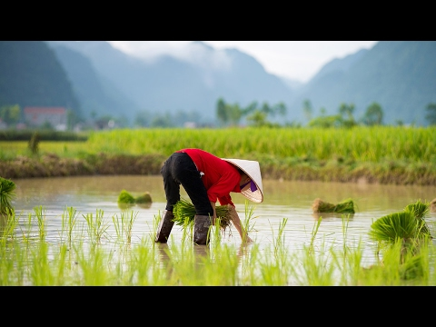 Salt – the New Danger Facing Rice Growers