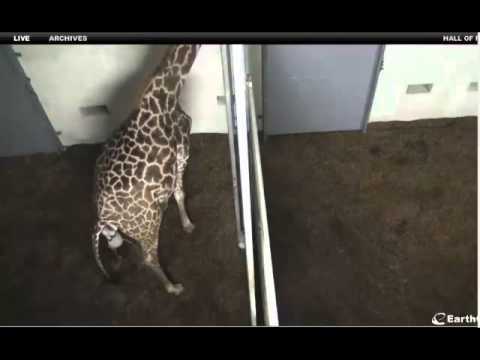 Thumbnail: 10-22-12 Autumn Labors (Giraffe at The Greenville Zoo - SC)