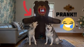 Hilarious Reaction To Me Pranking My Huskies With Bear Costume! [GONE WRONG!] [ELECTRIC BROKE!!!]