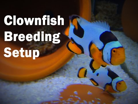 How To Setup A CLOWNFISH Breeding Tank