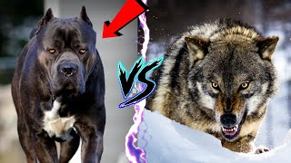 10 Dog Breeds That Can Defeat A Wolf  when the pack becomes the hunted