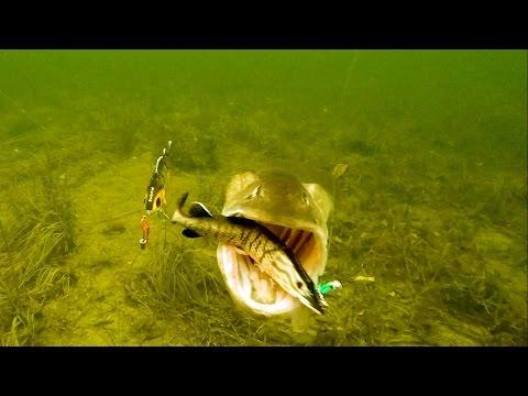 Fishing wt lures pike attacks. Pesca del lucio. Pêche du brochet. Рыбалка: щука атакует приманку.