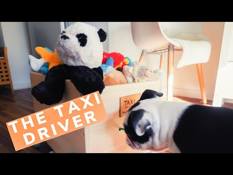 Dog the TAXI DRIVER   Cute dog funny play   BOSTON TERRIER little puppy   SUPER HIRO