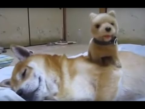 Shiba Inu Enjoying Toy Walking Puppy Massage!