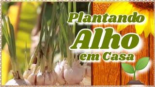 APRENDA A PLANTAR ALHO EM CASA (VASO) PASSO Á PASSO