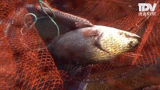幻の巨大魚アカメ  松茂でも捕獲
