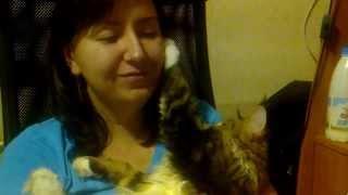 Котёнок Мейн кун Маркуша гладит хозяйку / Maine Coon kitten Markusha strokes it