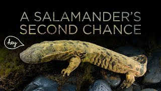 A Giant Salamander's Second Chance | Maddie About Science