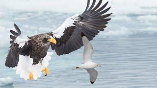 Thế giới động vật - Chuyến Săn Trên Không Của Loài Đại Bàng Stellars Sea Khổng Lồ 2019 HD !